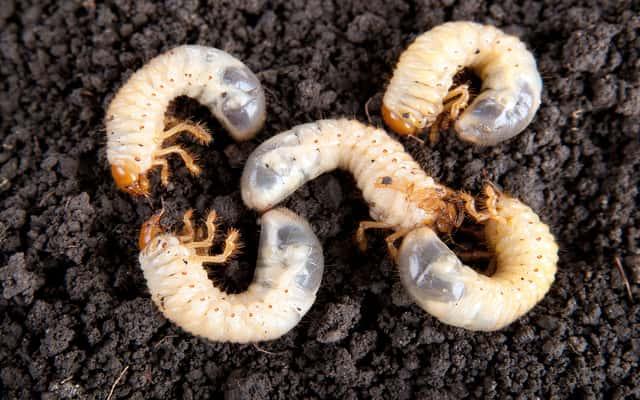 Jak zwalczać pędraki w ogrodzie? Sprawdzone sposoby i skuteczne środki