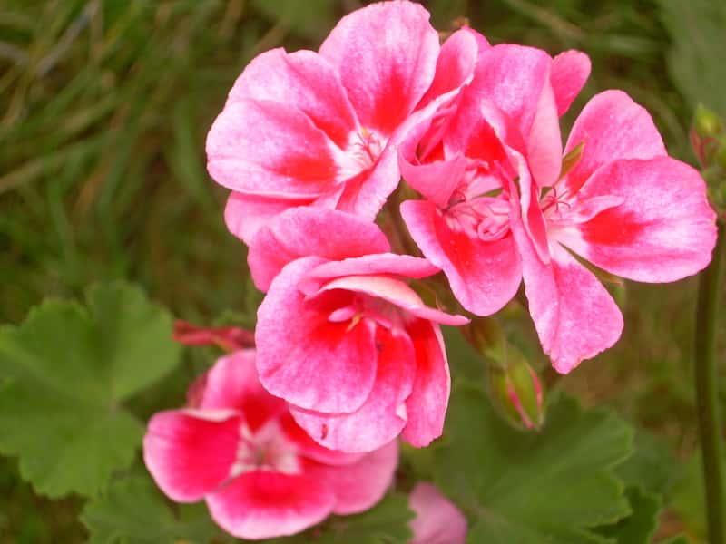 Pelargonia angielska o różowych kwiatach