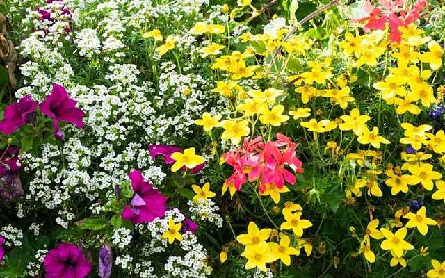 Pelargonia bluszczolistna - pielęgnacja, uprawa, wymagania