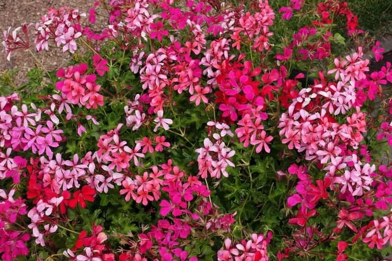 Pelargonia kaskadowa w okresie kwitnienia