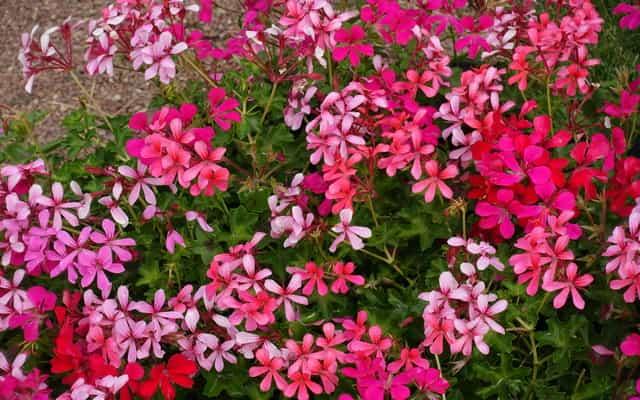 Pelargonia kaskadowa - pielęgnacja, uprawa, jak sadzić i podlewać?
