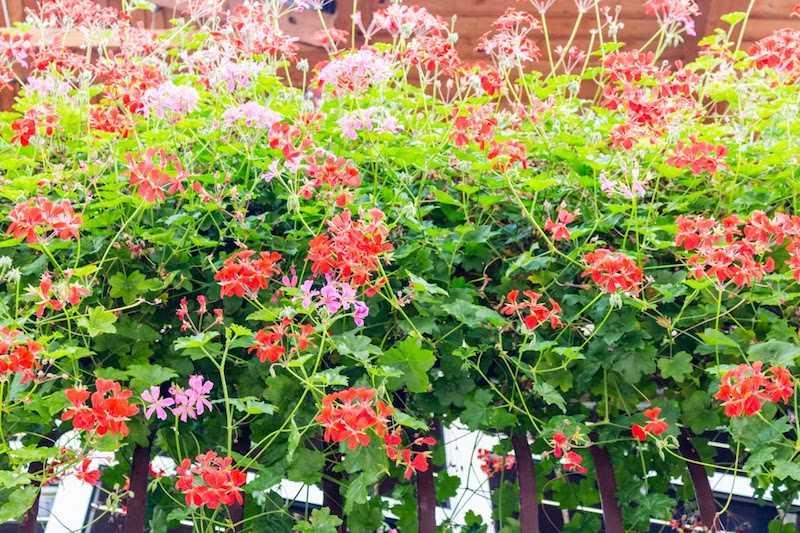 Pelargonia rabatowa w okresie kwitnienia
