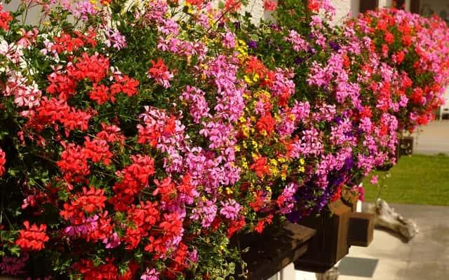 Pelargonie zwisające na balkon - sadzenie, pielęgnacja, odmiany