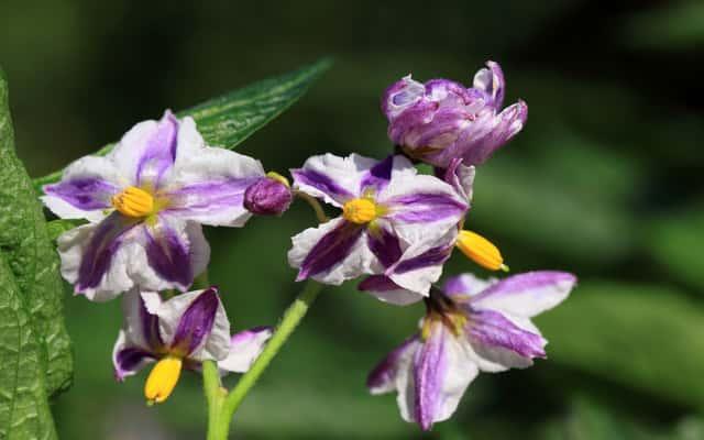 Pepino (psianka melonowa) - sadzenie, uprawa, pielęgnacja, zastosowanie