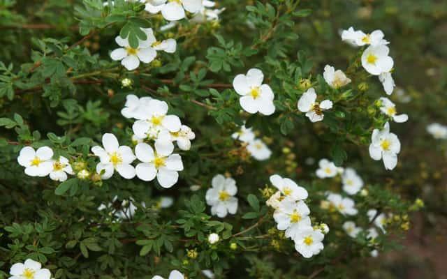 Pięciornik biały (Potentilla alba) - uprawa, pielęgnacja, zastosowanie lecznicze na niedobór jodu i tarczycę
