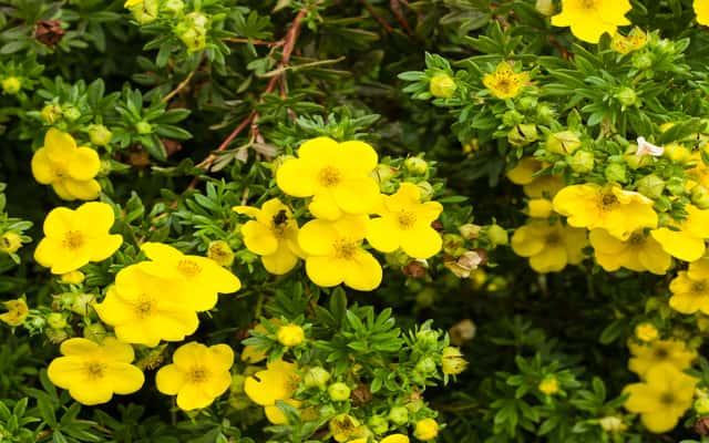 Pięciornik - odmiany, sadzenie, pielęgnacja, wymagania i inne porady