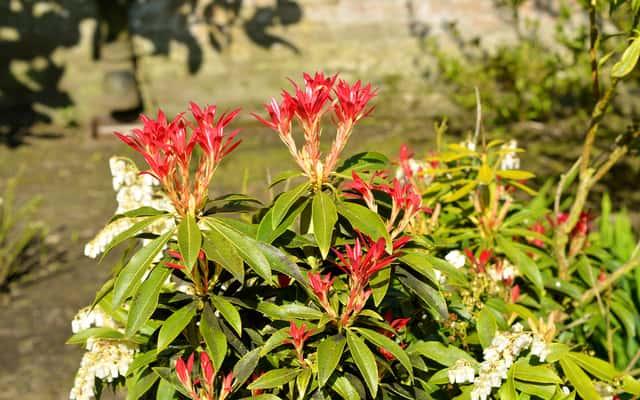 Pieris japoński Forest flame - uprawa i pielęgnacja pięknego krzewu ozdobnego