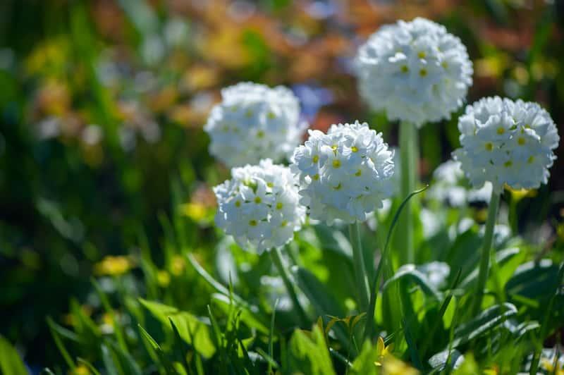 Pierwiosnek ząbkowany w czasie kwitnienia