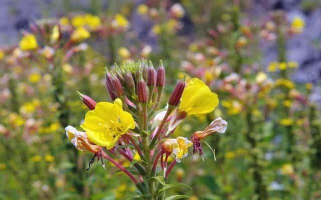Pierwiosnek – odmiany, sadzenie, uprawa, pielęgnacja w ogrodzie