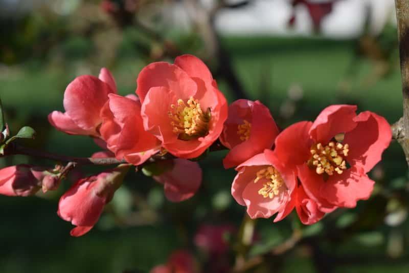 Czerwone kwiaty pigwowca japońskiego