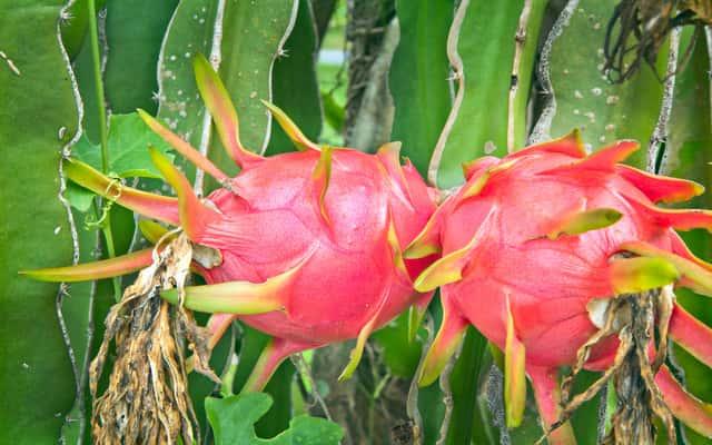Hylocereus undatus (owoc pitaja) - popularny smoczy owoc - uprawa w domu