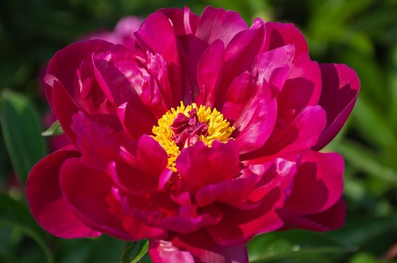 Różowa piwonia drzewiasta w okresie kwitnienia