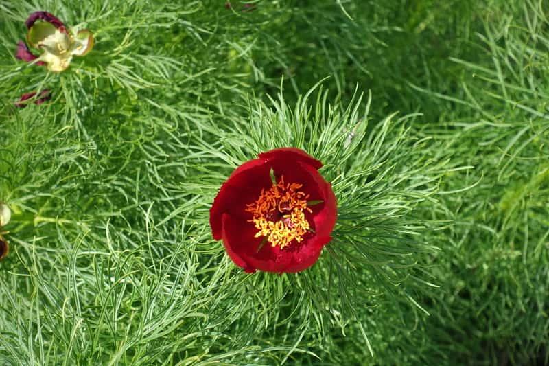 Piwonia koperkowa w czasie kwitnienia
