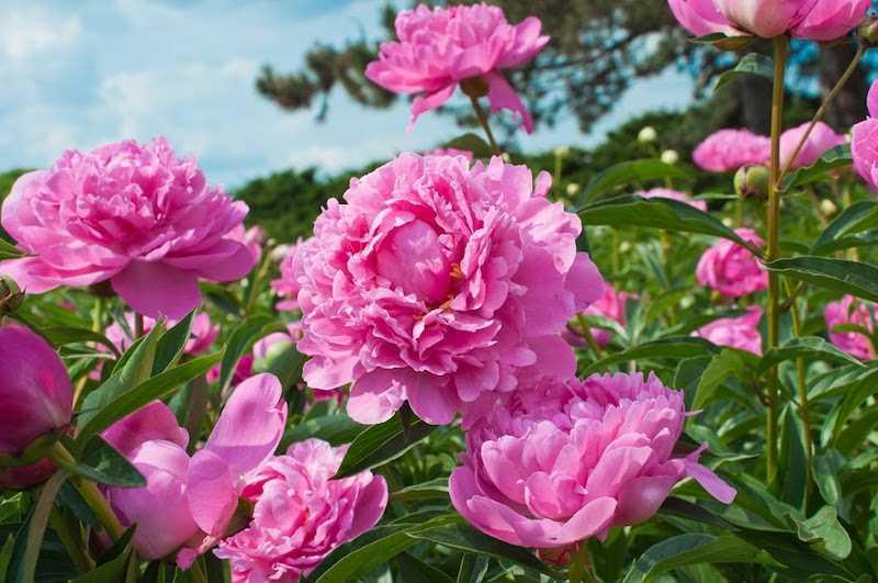 Różowa iwonia w okresie kwitnienia