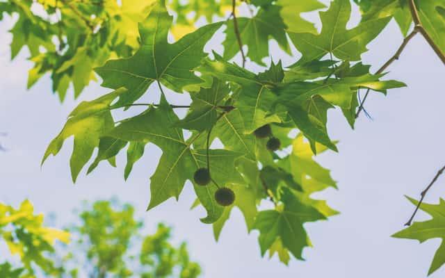 Platan klonolistny w ogrodzie - odmiany, uprawa, pielęgnacja, wymagania