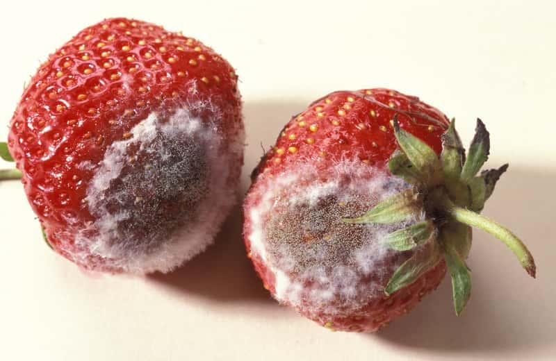 Szara pleśń – przyczyny, występowanie, sposoby zwalczania, choroby roślin