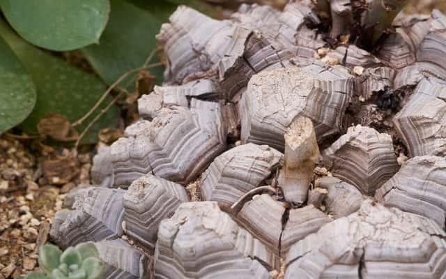 Pochrzyn słoniowy (Dioscorea elephantipes) - uprawa, pielęgnacja, podlewanie