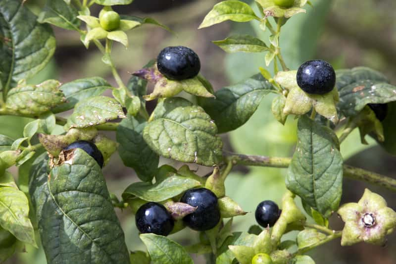 Pokrzyk wilcza jagoda - rozpoznanie, objawy zatrucia i sposoby na radzenie sobie z nimi