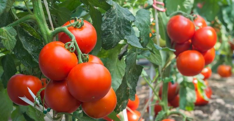 Dojrzałe pomidory na krzaku w ogrodzie