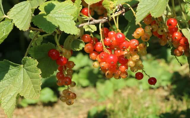Porzeczka - czarna, czerwona, biała - sadzenie, uprawa i pielęgnacja