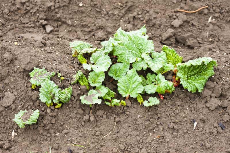 Sadzonki rabarbaru – popularne odmiany, ceny, porady jak sadzić