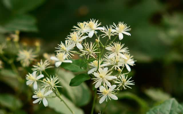 Powojnik pnący (klematis vitalba) - sadzenie, pielęgnacja, uprawa, porady