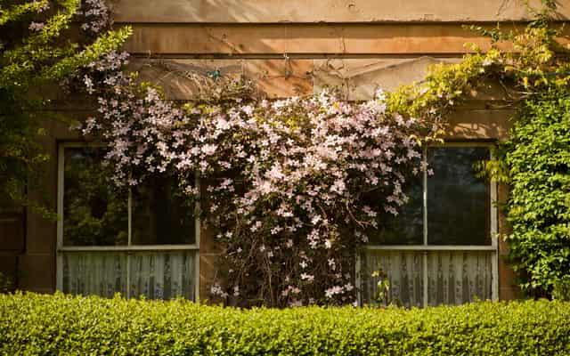 Powojnik tangucki (klematis tangutica) – sadzenie, uprawa, pielęgnacja, porady
