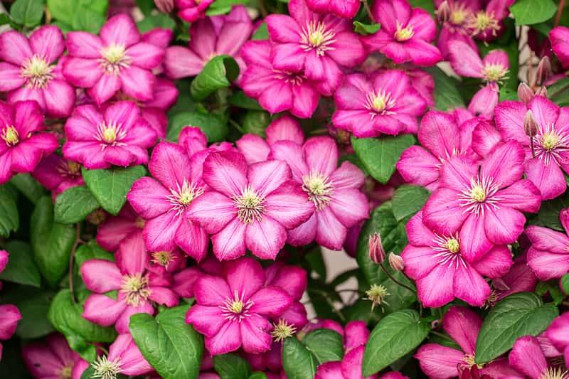 Powojnik wielkokwiatowy – odmiany, uprawa, pielęgnacja, kwitnienie