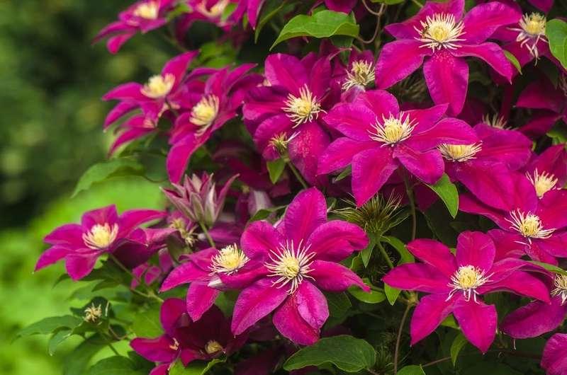 Pięknie kwitnący powojnik w ogrodzie