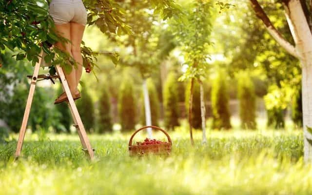Przycinanie czereśni - porady praktyczne jak i kiedy ciąć czereśnię