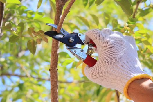 Przycinanie drzew owocowych krok po kroku