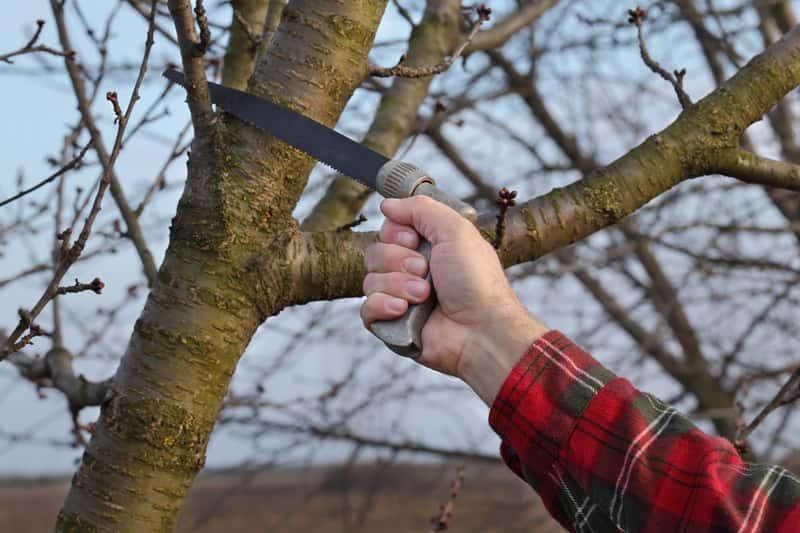 Mężczyzna w ogrodzie przycinający drzewka