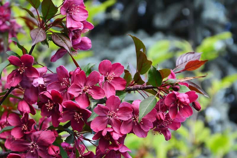 Kwiaty rajskiej jabłoni w czasie kwitnienia