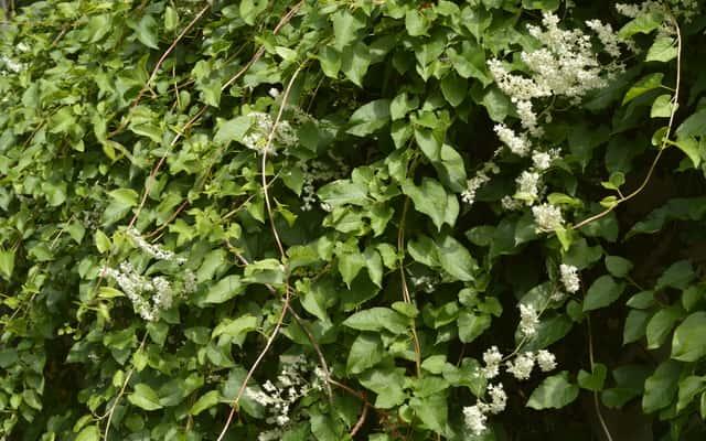 Rdest Auberta - sadzenie, uprawa, rozmnażanie, cena, zastosowanie