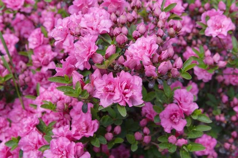 Kwiaty rododendrona w okresie kwitnienia
