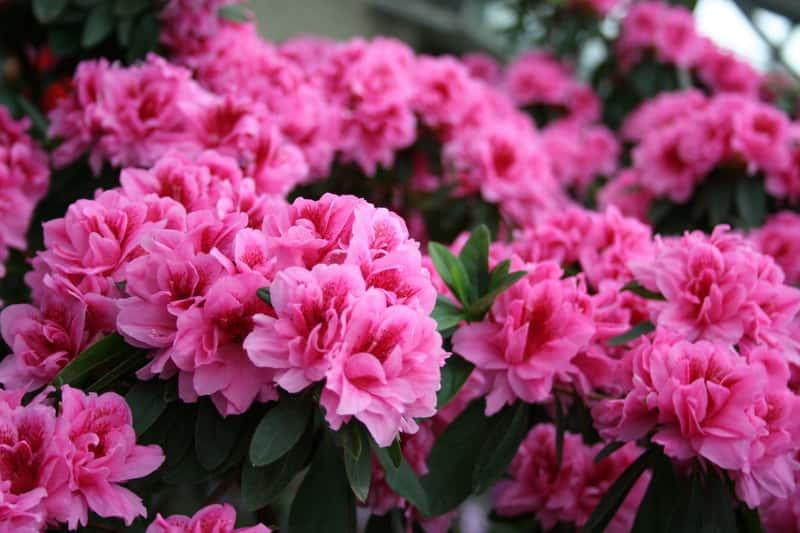 Jak i kiedy sadzić rododendrony (azalie) - praktyczny poradnik