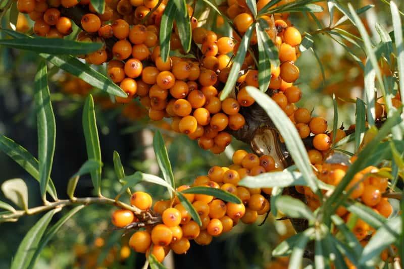 Rokitnik zwyczajny i owoce rokitnika na owocującycm krzewie. Rokitnik pospolity to roślina o licznych właściwościach.