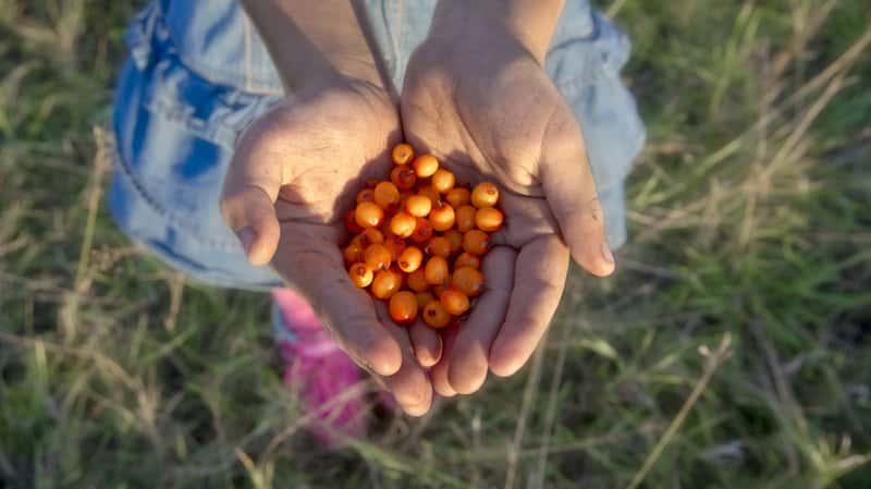 Owoce rokitnika zwyczajnego trzymane w dłoniach. Rokitnik pospolity to roślina, której właściwości lecznicze warto znać.