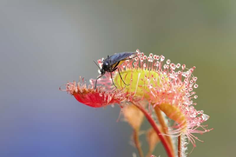 Roślina rosiczka owadożerna z owadem