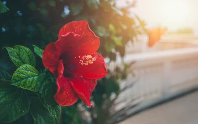 Róża chińska - pielęgnacja, rozmnażanie, choroby i inne porady