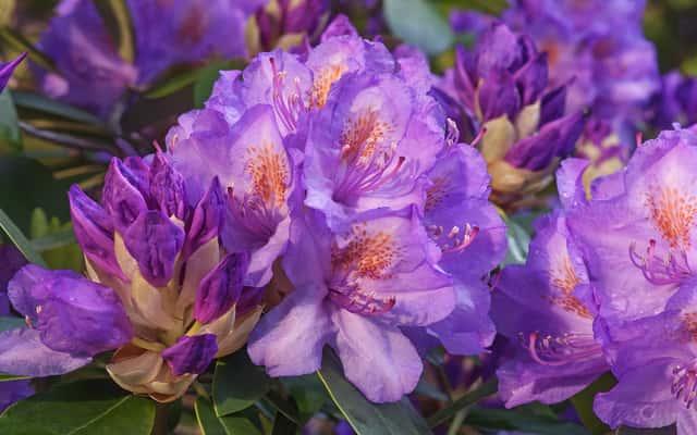 Różanecznik katawbijski - opis, sadzenie, uprawa, pielęgnacja, porady