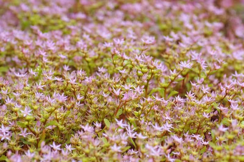 Rozchodnik kaukasi Sedum spurium to roślina, której uprawa nie jest wymagająca, a jest niezwykle urokliwa