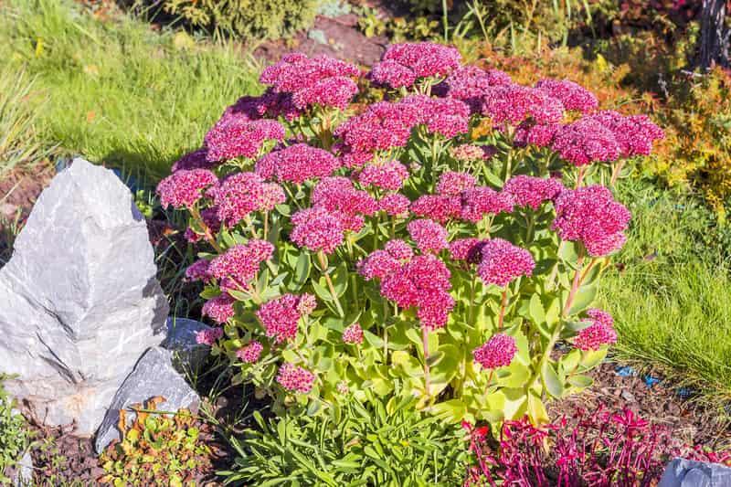 Rozchodnik okazały czy też tak zwany rozchodnik olbrzymi w czasie kwitnienia różowymi, zwartymi kwiatami