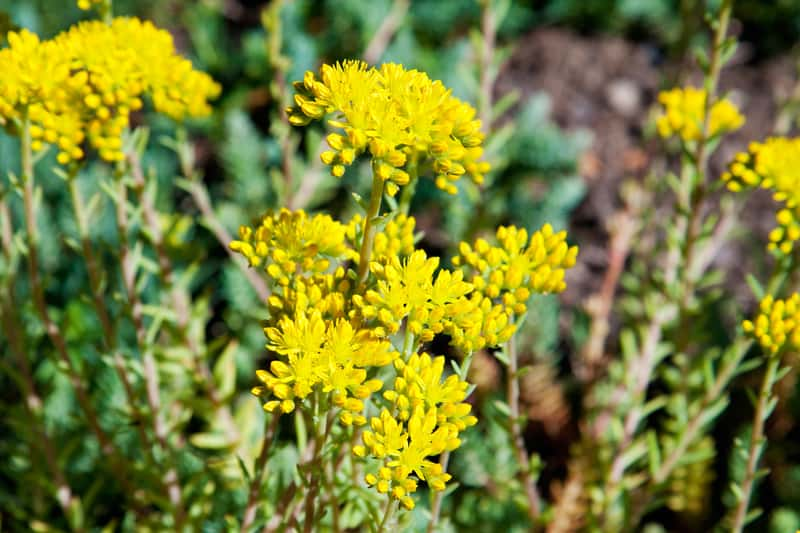 Rozchodnik złocisty z łaciny Sedum reflexum w czasie kwitnienia żółtymi kwiatkami