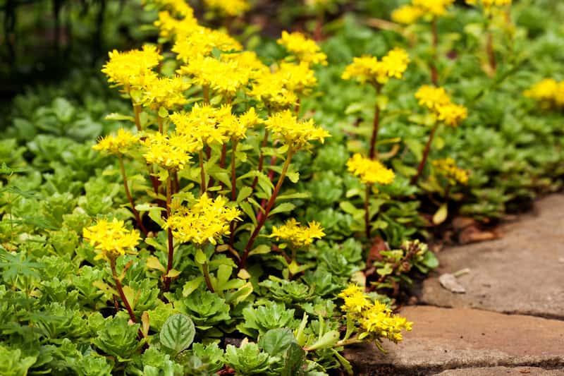 Rozchodnik ostry zwany też rozchodnik żółty lub z łaciny Sedum acre w czasie kwitnienia żółtymi kwiatkami