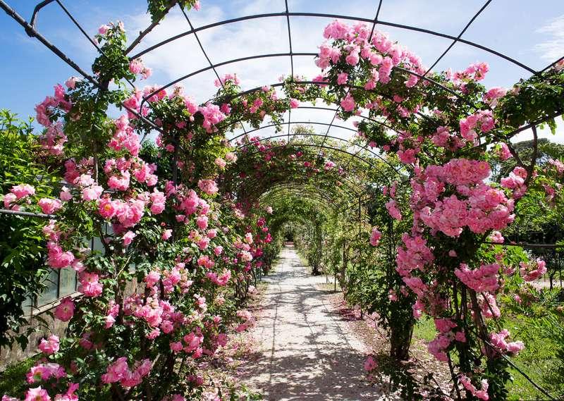 Róże pnące nad ścieżką w ogrodzie