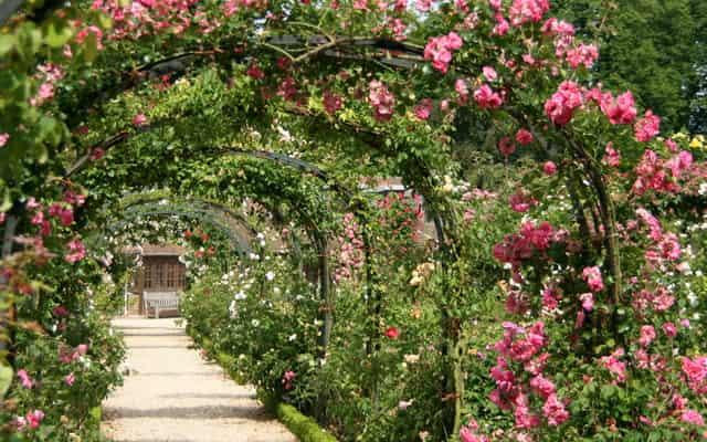 Róże pnące długo kwitnące i powtarzające kwitnienie – przegląd