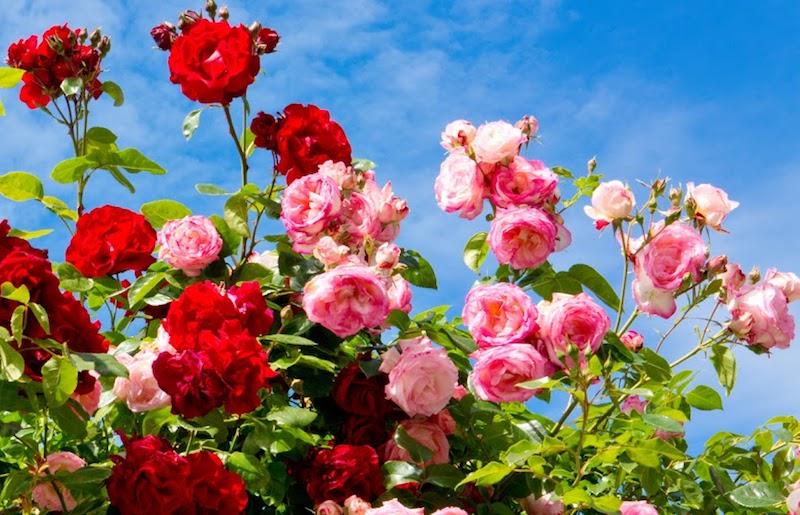 Róże kwitnące na czerwono i różowo