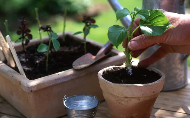 Rozmnażanie hortensji ogrodowej krok po kroku - poradnik praktyczny
