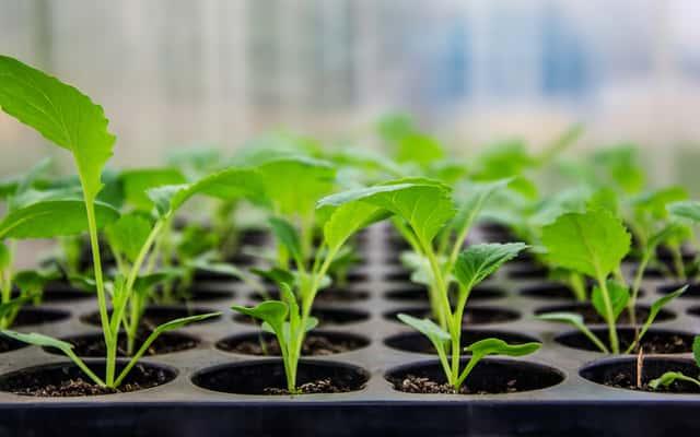 Rozsada kapusty i innych warzyw - odmiany, ceny, sadzenie, porady